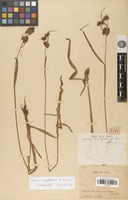 Filed as Juncus amplifolius A.Camus [family JUNCACEAE]