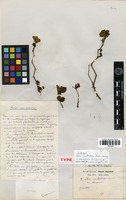Lectotype of Rosa multiflora Thunb. var. adenophora Franch. & Sav. [family ROSACEAE]