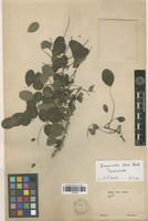 Isolectotype of Harpalyce retusa (Benth. ex Hemsl.) Rose [family FABACEAE]