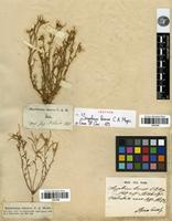 Isotype of Sisymbrium binerve C.A.Mey. [family BRASSICACEAE]