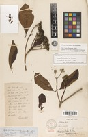 Isolectotype of Chimarrhis hookeri K.Schum. [family RUBIACEAE]
