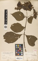Isotype of Howardia grandiflora Wedd. [family RUBIACEAE]