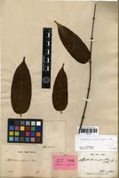 Isotype of Anplectrum pallens Blume [family MELASTOMATACEAE]