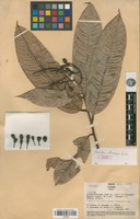 Type of Ouratea chocoensis Sastre [family OCHNACEAE]
