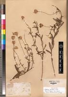 Holotype of Felicia dentata (A.Rich.) Grau [family ASTERACEAE]