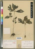 Holotype of Impatiens analavelensis H.Perrier [family BALSAMINACEAE]