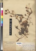 Isotype of Clematis hirsuta Guill. & Perr. var. glabrescens A.Chev. [family RANUNCULACEAE]