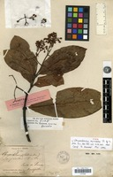 Holotype of Chrysochlamys myrcioides Planch. & Triana [family CLUSIACEAE]