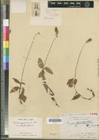 Holotype of Cheirostylis micrantha Schltr. [family ORCHIDACEAE]