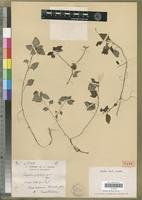 Isotype of Impatiens subabortiva H.Perrier [family BALSAMINACEAE]
