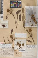 Holotype of Androstachys rufibarbis Airy Shaw [family EUPHORBIACEAE]