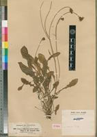 Isotype of Crepis tenerrima (A.Rich.) R.E.Fries [family ASTERACEAE]