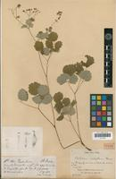 Holotype of Thalictrum scabrifolium Franch. [family RANUNCULACEAE]