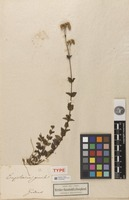 Holotype of Eupatorium gracile Kunth [family ASTERACEAE]