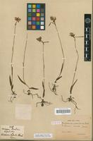 Syntype of Hemihabenaria radiata (Spreng.) Finet [family ORCHIDACEAE]