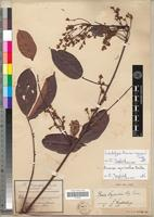 Lectotype of Rourea soyauxii Gilg. [family CONNARACEAE]