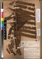 Holotype of Cyathea approximata Bonap. [family PTERIDOPHYTA]