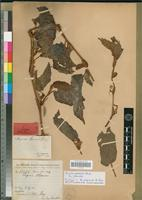 Holotype of Begonia alepensis A.Chev. [family BEGONIACEAE]