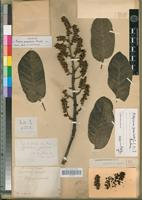Holotype of Panax racemosa Drake [family ARALIACEAE]