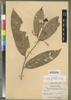 Isotype of Ouratea patelliformis Dwyer [family OCHNACEAE]