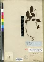 Isotype of Heppiella parviflora Fritsch [family GESNERIACEAE]