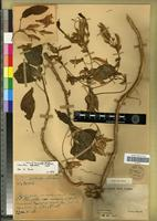 Holotype of Primulina minutihamata (D.Wood) Mich.Möller & A.Weber [family GESNERIACEAE]