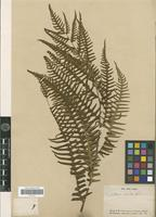 Type of Pteris excelsa Gaudich. [family PTERIDOPHYTA]