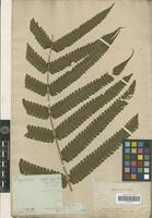 Holotype of Polypodium glandulosum Desv. [family PTERIDOPHYTA]