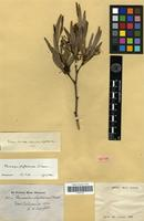 Isotype of Stenocarpus phyllodineus S.Moore [family PROTEACEAE]