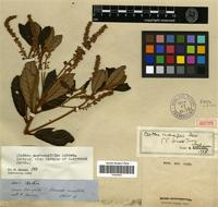 Isotype of Clethra castaneifolia Meisn. [family CLETHRACEAE]