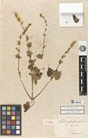 Holotype of Salvia fimbriata Kunth var. [alpha] Kunth, nom. inval. [family LAMIACEAE]