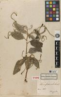 Holotype of Tournefortia velutina Kunth [family BORAGINACEAE]