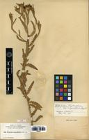 Isotype of Haplopappus phyllocephalus DC. subsp. megacephalus (Nash) H.M.Hall [family ASTERACEAE]