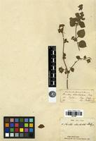Filed as Hemigraphis ebracteolata C.B. Clarke [family ACANTHACEAE]