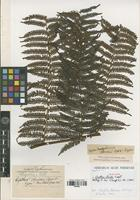 Isotype of Cyathea christii Copel. [family PTERIDOPHYTA]