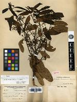 Isotype of Nectandra turbacensis (Kunth) Nees var. truxillensis Meisn. [family LAURACEAE]