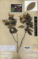 Isotype of Licania crassifolia Benth. [family ROSACEAE]