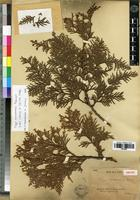 Isotype of Thuja sutchuenensis Franch. [family CUPRESSACEAE]