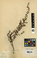Isotype of Persoonia oxycoccoides Sieber ex Schult. [family PROTEACEAE]