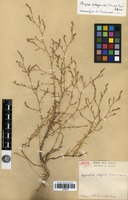 Type of Phryna ortegioides (Fisch. & C.A.Mey.) Pax & K.Hoffm. [family CARYOPHYLLACEAE]