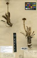 Isolectotype of Werneria staticifolia Sch. Bip. [family ASTERACEAE]