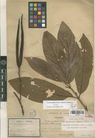 Isolectotype of Urceola latifolia (Pierre ex Spire) D.J.Middleton [family APOCYNACEAE]