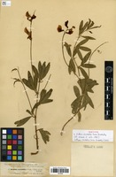 Isotype of Orobus variabilis Boiss. & Kotschy [family FABACEAE]
