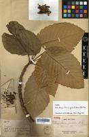 Holotype of Bocquillonia grandidens Baill. [family EUPHORBIACEAE]