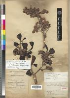 Isotype of Tisonia faucherei Danguy [family FLACOURTIACEAE]