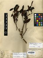 Isotype of Neophylum bicolor Tieghem [family LORANTHACEAE]