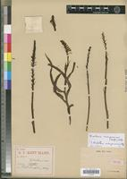 Isotype of Holothrix madagascariensis Rolfe [family ORCHIDACEAE]