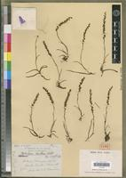 Isotype of Tylostigma tenellum Schltr. [family ORCHIDACEAE]