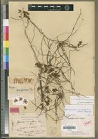 Holotype of Gussonea macrantha H.Perrier [family ORCHIDACEAE]