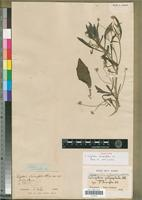Isotype of Tripteris limonifolia DC. [family ASTERACEAE]